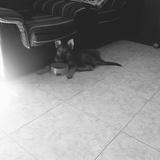 Maya (Perro Lobo Checoslovaco)