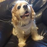 Snoopy (Cavalier King Charles Spaniel)