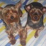 Kira y Noa - Yorkshire Terrier