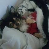 Billy - Chihuahua