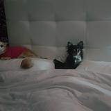 Cindy  (Chihuahua)