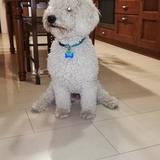 Junior  - Perro de Agua Español