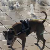 Alfie (Staffordshire Bull Terrier)