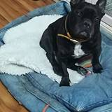 RON - Bulldog Francés