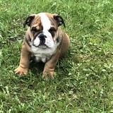 Pablo  - English Bulldog