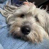 Phyllis (Catalan Sheepdog)