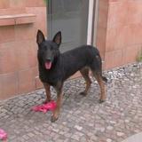 Pudi (Belgischer Schäferhund)