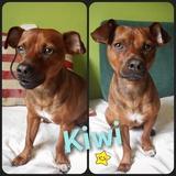 Kiwi (Pinscher Miniatura)
