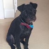 Piper (Border Terrier)