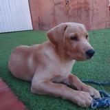 Zoe - Labrador Retriever