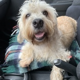 Moura (Dandie Dinmont Terrier)