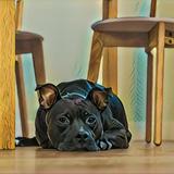 Xena (American Staffordshire Terrier)
