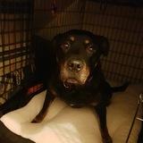 Ruby (Rottweiler)