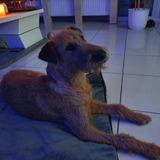 Callum (Irish Terrier)