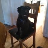 Rex (Parson Russell Terrier)