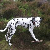 Troi (Dalmatian)