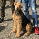 Waska (Australian Terrier)