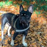 Welford (French Bulldog)