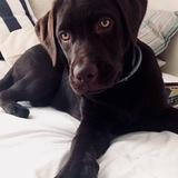 Mocca (Labrador Retriever)