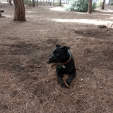 Cuba (Staffordshire Bull Terrier)