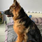 Bella (German Shepherd Dog)