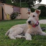 Lola (Fox Terrier De Pelo Duro)