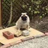 Betsy (Pug)