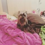 Tobby (Yorkshire Terrier)