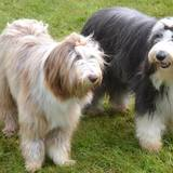 Haiti Et Jynka (Bearded Collie)