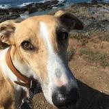 Sophie  (Greyhound)