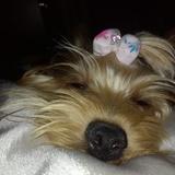 Kanesy  (Yorkshire Terrier)