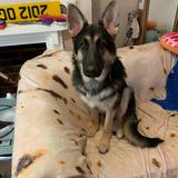 T,Challa (German Shepherd Dog)