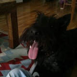 Tilo (Scottish Terrier)