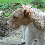 Fargo (Fox Terrier)