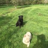 Maisie (Labrador Retriever)