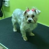 Shisha - Yorkshire Terrier
