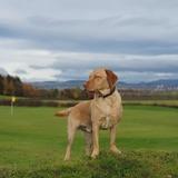 Alfie (Labrador Retriever)