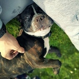 Irka (French Bulldog)