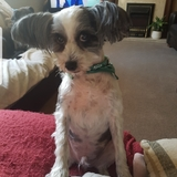 Bailey (Chinese Crested Dog)