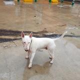 Rosco  (Bull Terrier)