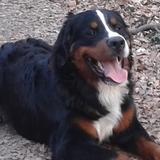 Sammy (Berner Sennenhund)
