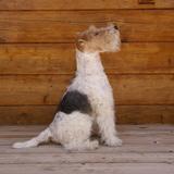 Gus (Fox Terrier De Pelo Duro)