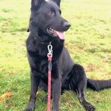 Mina (German Shepherd Dog)