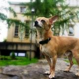 Titan (Chihuahua)