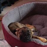 Kai (German Shepherd Dog)