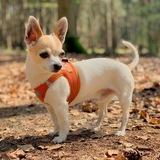 Kai (Chihuahua)