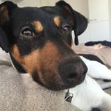 Jimmy (Jack Russell Terrier)