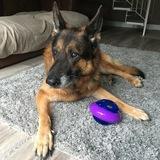 Rocky (German Shepherd Dog)