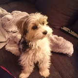 Amy  (Yorkshire Terrier)
