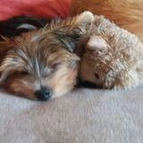 Seppi (Yorkshire Terrier)